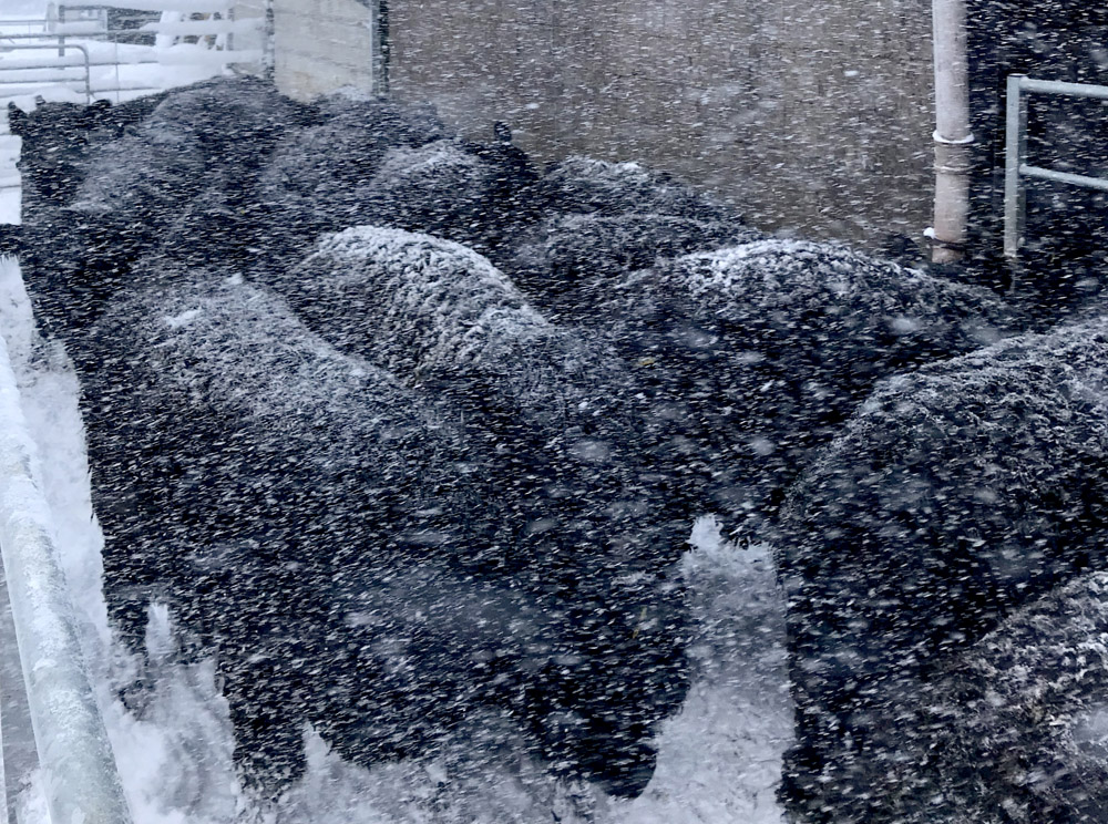 Blizzard conditions ensue as the naturally insulated heifers patiently await insemination